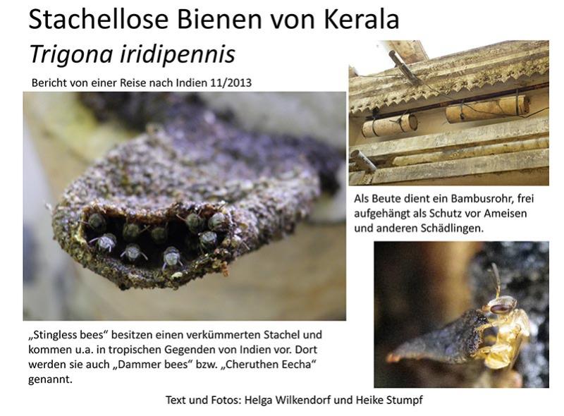 Stachellose Bienen von Kerala 01