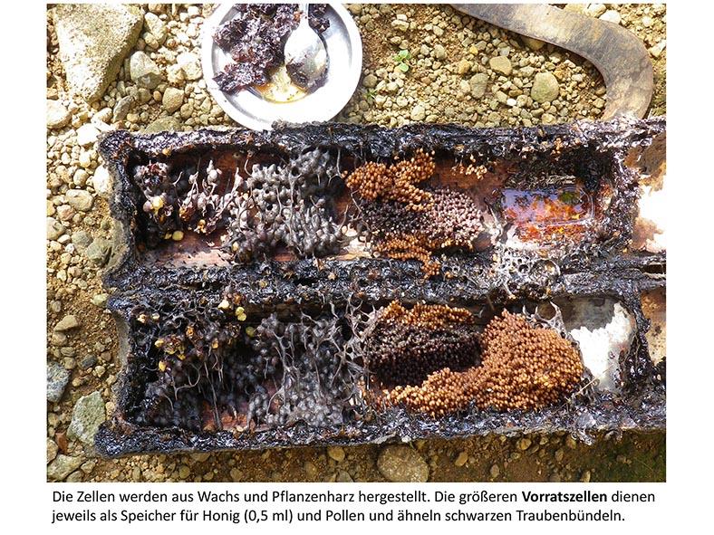Stachellose Bienen von Kerala 06