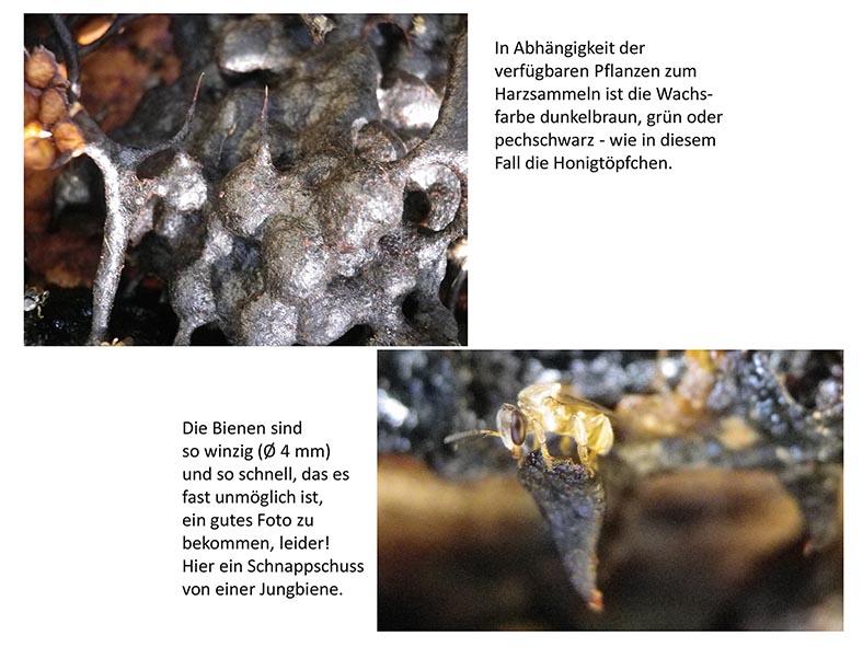 Stachellose Bienen von Kerala 10