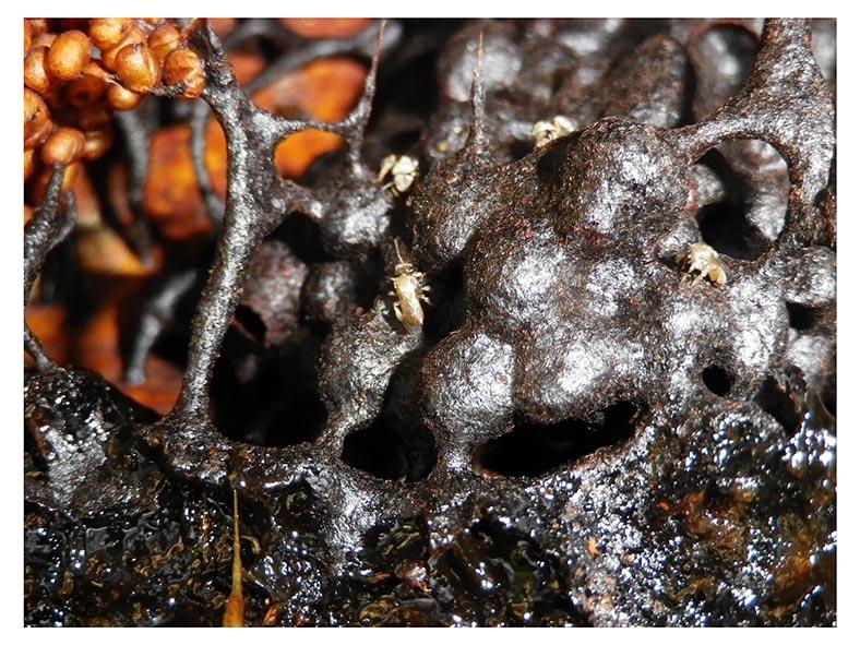 Stachellose Bienen von Kerala 11