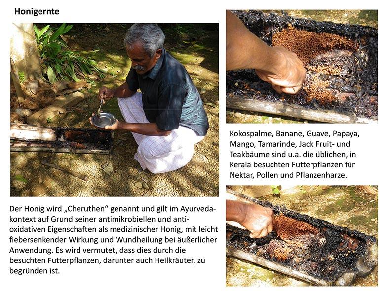 Stachellose Bienen von Kerala 13