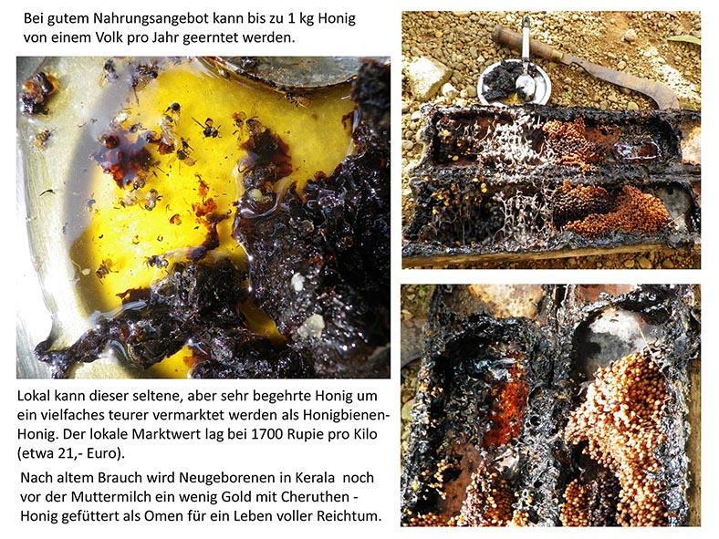 Stachellose Bienen von Kerala 14