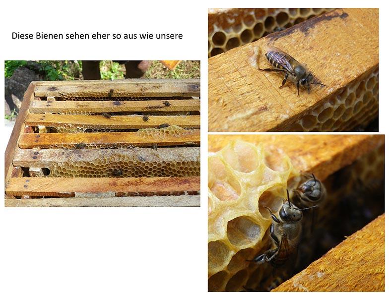 Stachellose Bienen von Kerala 20