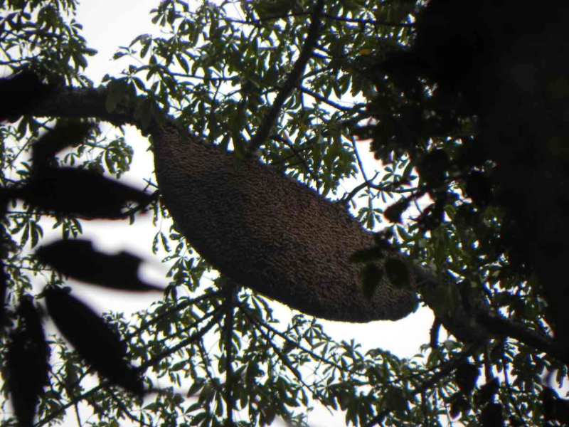 Nest der Riesenhonigbiene im Thekkady NP