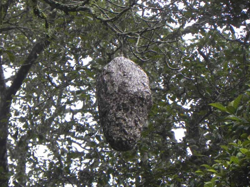 Wespenest im Thekkady NP