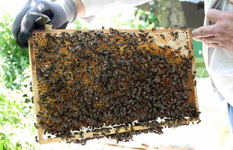 Bienen auf der Wabe