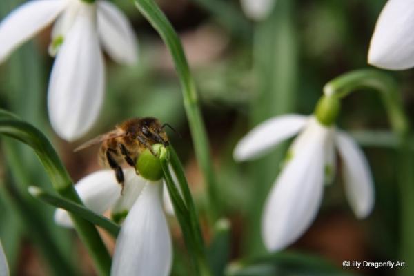 Honigbiene auf Schneegloeckchen