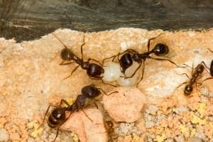 Ameisen1