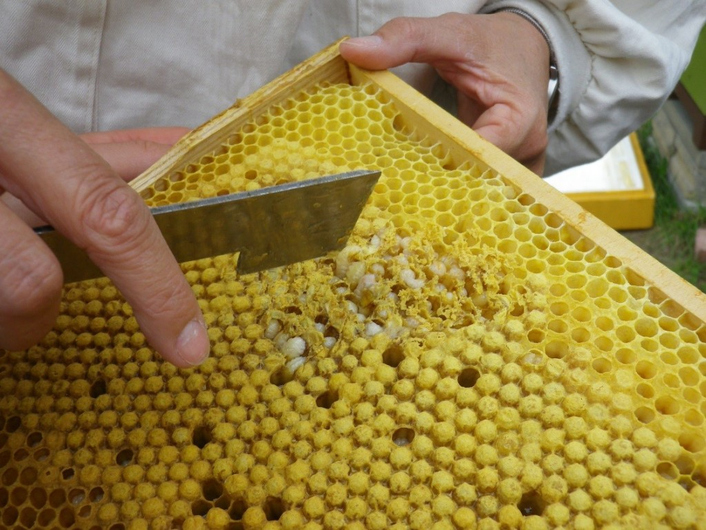 Suche nach Milben auf der Drohnenbrut