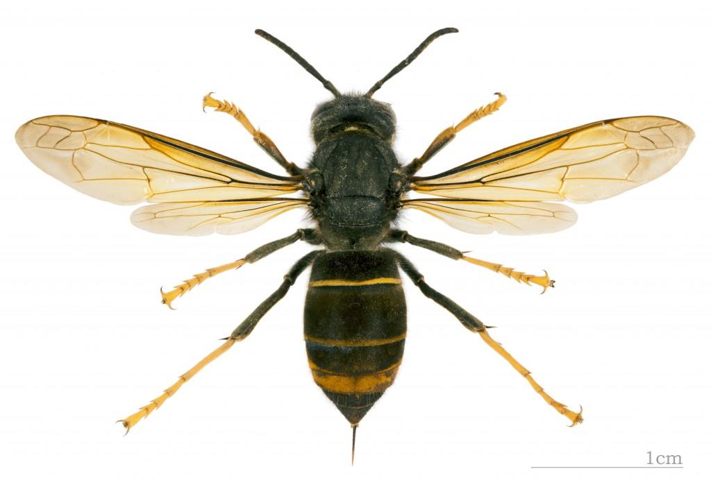 """Vespa velutina nigrithorax MHNT dos"""" von Didier Descouens - Eigenes Werk. Lizenziert unter CC-BY-SA 4.0 über Wikimedia Commons"""