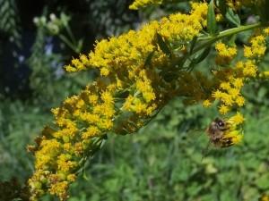 Honigbiene-an-Kanadischer-Goldrute-1-10x13s