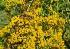 Honigbiene-an-Kanadischer-Goldrute-2-10x15s