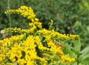 Fotos: Tino Westphal – Honigbiene an Kanadischer Goldrute