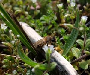 Frühlings-Seidenbiene (Colletes cunicularius)