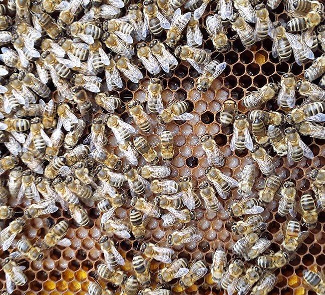 Eine schöne Brutwabe mit unverdeckelter Brut, unten mit Pollen