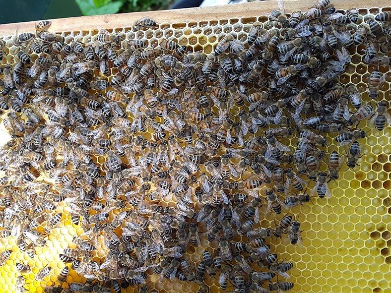 Brutwabe mit frischen Stiften und darauf sitzenden Ammenbienen. Keine Königen? Sorgfältig prüfen…