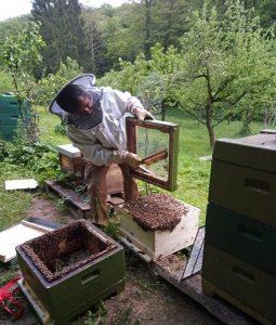 Fotos: Tino Westphal – der Bienenschwarm wird aus der Transportkiste in die neues Beute, die mit Mittelwänden gefüllt ist, gekippt. Bald verschwindet der Bienenhaufen zwischen den Wabengassen