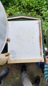 Windel-Analyse – keine Varroa-Milben