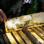 Halbzargen als zweiter Honigraum / Dickwaben