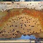 Bienen in Höchstleistung