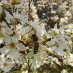 Honigräume drauf, die Kirschen blühen